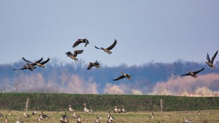 Greylags take off form a grassy pasture | Credit: Thomas_Zsebok_Images / Getty Images