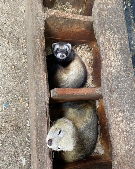 Two ferrets, one of whom looks very sleepy after the Open Farm Day at County High, Saffron Walden
