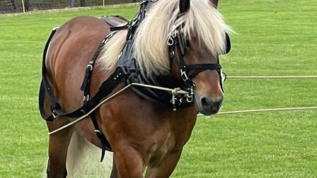 A Comtois horse with a blowing, blonde mane at Saffron Walden Country High School