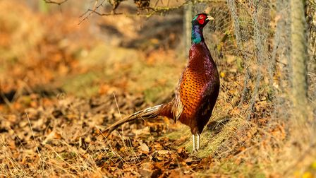 The GWCT was able to prove that pheasants were not responsible for declining adder populations. Cred