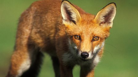 A .243 will take care of foxes and UK deer species. Credit: Colin Varndell