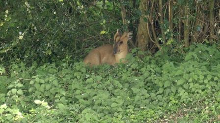 The muntjac boys that Linda came to know so well, she named them