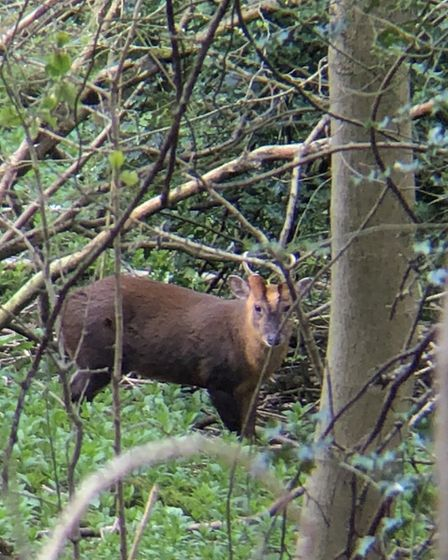 Another candid shot of her muntjac, peeking through the trees!