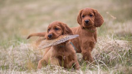 With springer spaniels often undervalued and cockers becoming drastically overpriced during lockdown
