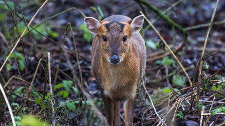 Muntjac are the only species that breed all year round. Credit: JBLumix/Getty