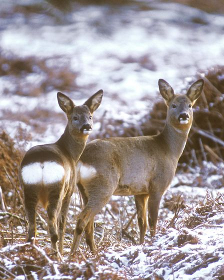 Getting your doe cull completed in winter sometimes isn't possible. Credit: David Mason