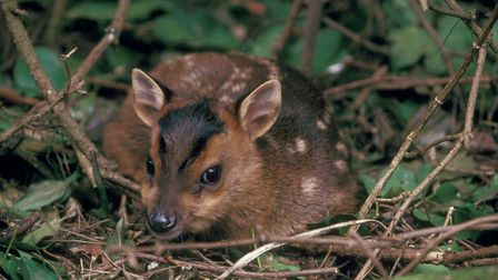 Muntjac are the only UK species that breed all year round; it is this trait that has contributed to