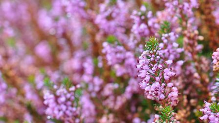 The heather is burnt to encourage growth of fresh, tasty and nutritionally dense new buds and shoots