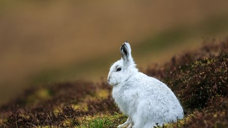 Without a specific licence, mountain hares can not be killed or harmed. Credit: Bebedi / Getty Image