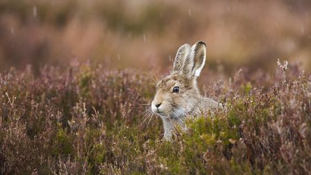 You only have to watch the total misrepresentation of the management of the mountain hare to see how