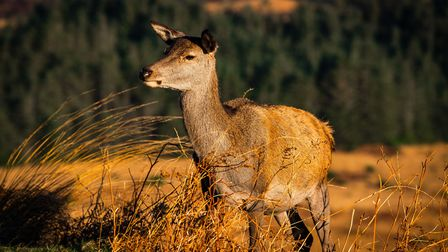 One large estate in the Highlands this year is to be applauded for making deer stalking available to