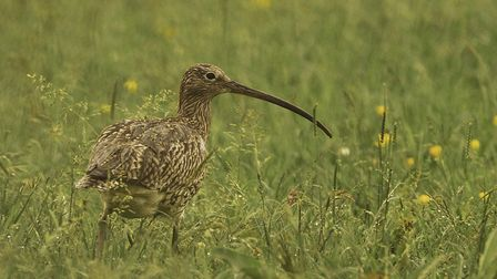 A female Curlew (Credit: Tom Streeter)