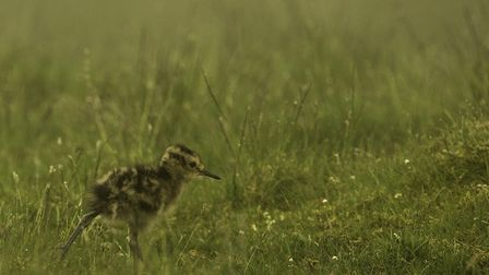 A Curlew chick (Credit: Tom Streeter)