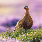 Grouse moors have become a political tool... potentially at the expense of wildlife, jobs and commun
