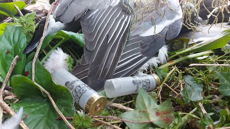 Andy uses Clear Pigeon for most of his shooting - even the corvids!