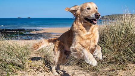 Golden retriever jumping in the sand