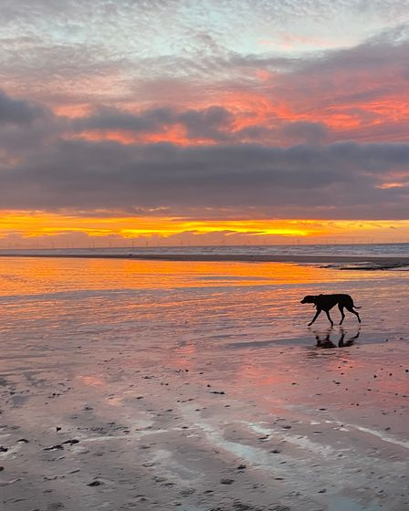 German shorthaired point walking along a sunset beach
