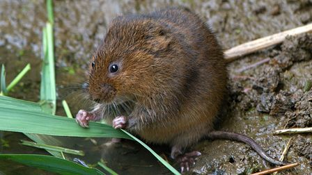 Water Vole snacking on a leaf at Rainham Marshes