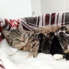 Three-year-old Tamsin gave birth to five kittens, who have been calledTatiana, Tilly, Tallulah, Theodore and Tabitha