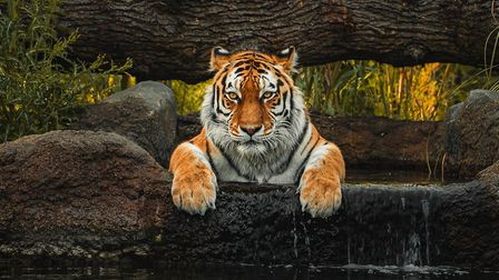 Tiger Siberia with her paws outat Paradise Wildlife Park.