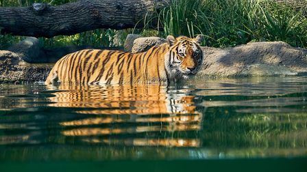 One of the big cats in the pool in the Land of the Tigers atParadise Wildlife Park.