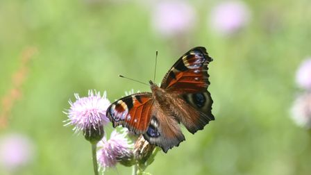 Butterflies are a lot less common than 30 years ago