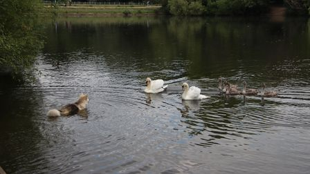 Two parent swans face up to a canine intruder on Hampstead No.2 Pond