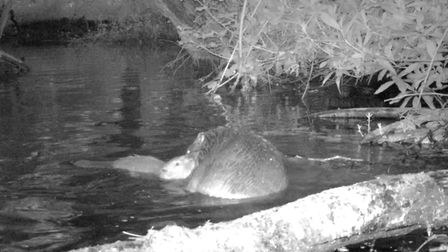 Beaver kit caught on the night cam on the National Trust's Holnicote Estate in Somerset