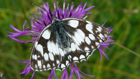 Marbled white butterfly feeding on a common knapweed
