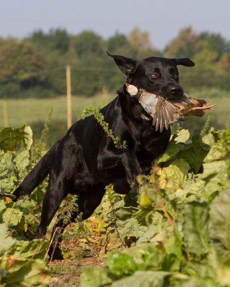 black labrador with partridge in mouth