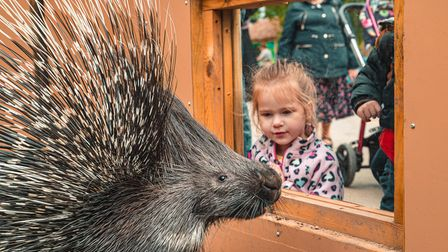 A youngster watches one of the new porcupines at Paradise Wildlife Park.