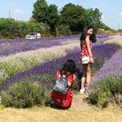 Visitors to Hitchin Lavender.