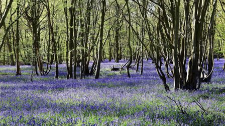 Bluebells near South Weald Country Park in Essex.