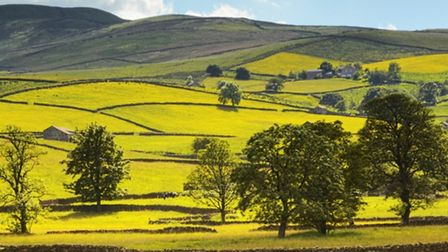 Buttercups in Wensleydale, from Hawes