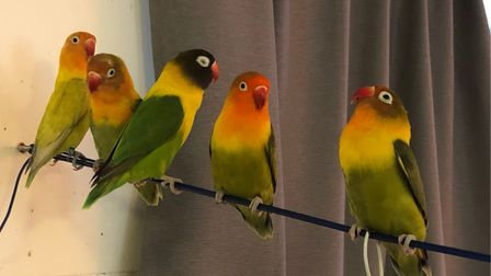Miguel Fernandez's three-year-old female lovebird Caracola, with theblack masked head anda red beak, is missing