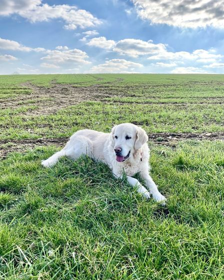 Maisie the dog on a grassy field, with blue skies and clouds in the sky