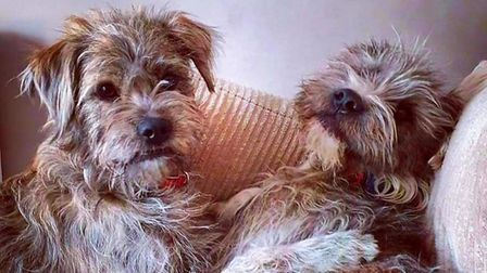 Two fluffy dogs intertwined together in happiness