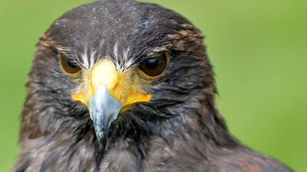 There will be birds of prey at the Cambridge Country Show.
