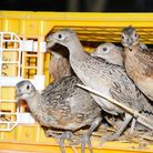 pheasant poults being released into pen