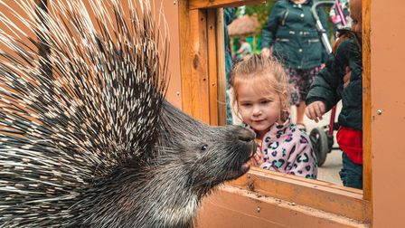One of the new porcupines at Paradise Wildlife Park in Hertfordshire.