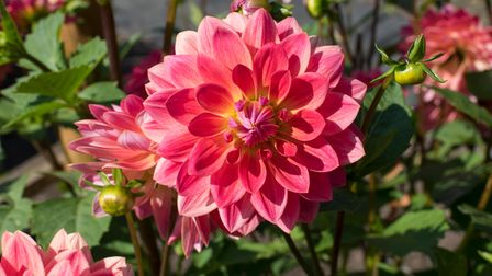 A variety of dahlia called the Kilburn Rose', available at Royal Horticultural Society garden centres ready to plant.