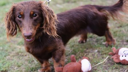 Maizie, 17-months-old, at the sausage dogs picnic at Christchurch Park. Picture: DENISE BRADLEY