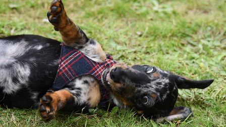 Three-months-old Glitch plays in the grass at the sausage dogs picnic, at Christchurch Park. Picture