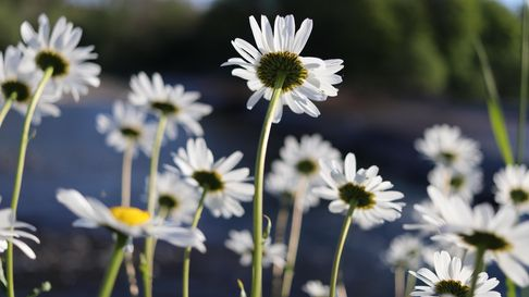 A picture of daisies pointing towards the sun