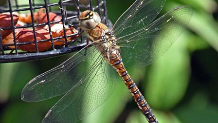 Ken Challenger took this photo of a dragonfly on a bird feeder in his Brampton.