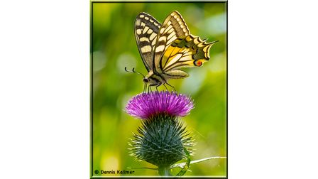 French butterfly