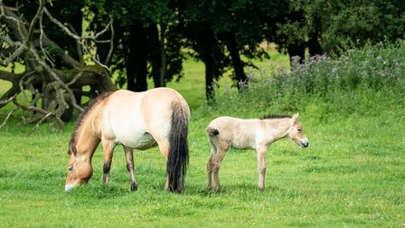 Sooton, a rare and endangered przewalski foal, has been born at Whipsnade Zoo.