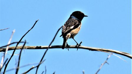 A stonechat on a branch.