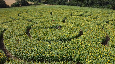 A drone shot of one of the sunflower mazes at the farm near Eye