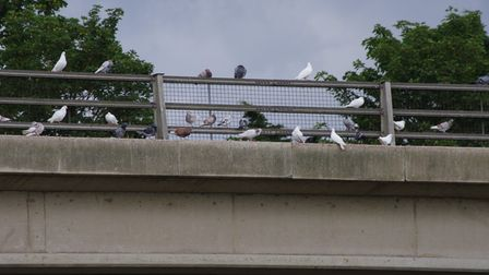 Pigeons on Godmanchester Bridge on the old part of the A14 flyover.